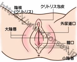クリトリス図解①